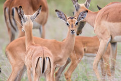 Impala doe caress her new born lamb in dangerous environment Stock Image