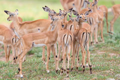 Impala doe caress her new born lamb in dangerous environment Royalty Free Stock Image