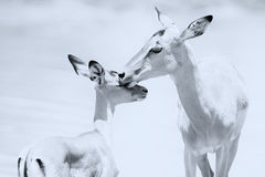Impala doe caress her new born lamb in dangerous environment ar Royalty Free Stock Photo