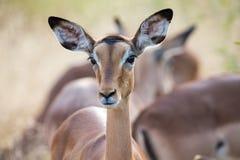 Impala doe head close-up portrait lovely colours Royalty Free Stock Photo