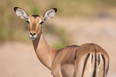 Impala doe looking for possible danger portrait Royalty Free Stock Photography