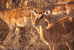 Impala doe portrait Stock Photography