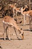 Impala doe Royalty Free Stock Photos