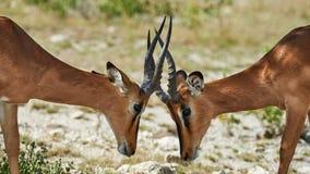 Impala dois enfrentada preta Imagens de Stock