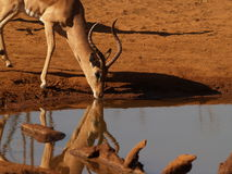 Impala drinking Royalty Free Stock Image