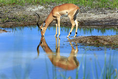 Impala. Drinking Impala in the Boteti river Royalty Free Stock Images