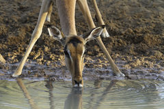 Impala. Female Impala Antelope Drinking at a Waterhole in Early Morning Sunshine Royalty Free Stock Photos