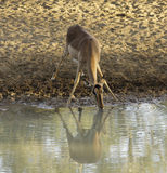 Impala Drinking. Impala female, drinking at a waterhole early in the morning Royalty Free Stock Images