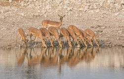 Impala Drinking. A herd of Impala drinking at a watering hole in Namibian savanna Royalty Free Stock Photos