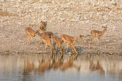 Impala Drinking. A herd of Impala drinking at a watering hole in Namibian savanna Royalty Free Stock Image