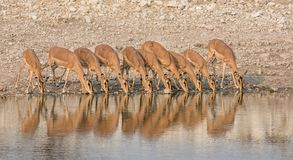 Impala Drinking. A herd of Impala drinking at a watering hole in Namibian savanna Stock Photography