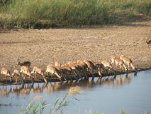 Impala drinking at river in kruger Stock Photography