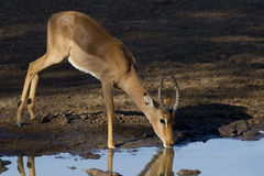 Impala drinking, South Africa. Young male Impala (Aepyceros melampus) drinking water from a natural pan in South Africa's Kruger Park Royalty Free Stock Photography