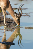 Impala drinking Vertical Royalty Free Stock Image