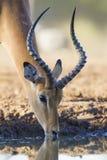 Impala drinking water (aepyceros melampus) Botswana. One male Impala (Aepyceros melampus) drinking water, Botswana Royalty Free Stock Photography