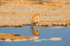 Impala drinking water Royalty Free Stock Photo
