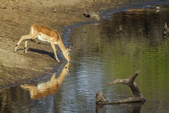 Impala drinking water in Kruger National park Royalty Free Stock Images