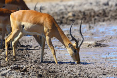 Impala drinking water at muddy waterhole Stock Images