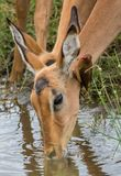 Impala drinking water while an oxpecker is cleaning its ear Stock Images