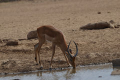 Impala drinking. From the watering hole Stock Photo