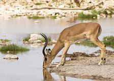 Impala drinking royalty free stock photos