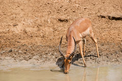 Impala drinking Stock Image