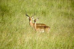 Impala due in mezzo ad erba verde di tutela della fauna selvatica di Lewa, Kenya del nord, Africa Fotografie Stock