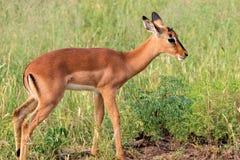 Impala dziecko, Kruger park narodowy, Południowa Afryka Obraz Royalty Free