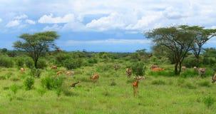 impala dziki Fotografia Stock
