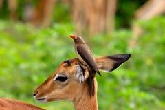 Impala e oxpecker redbilled Fotografia Stock Libera da Diritti