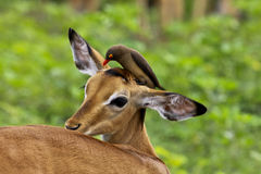 Impala e oxpecker redbilled Fotografia de Stock Royalty Free