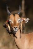 Impala e oxpeckers Immagini Stock