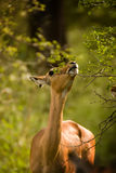 Impala eating. An African Impala stretching to reach the leaves on a tree Stock Photo