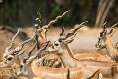 Impala eating meadow in the zoo Stock Photos