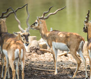 Impala eating meadow in the zoo Stock Image