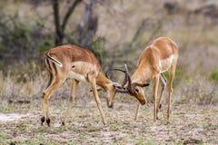 Impala en el parque nacional de Kruger, Suráfrica Imagen de archivo libre de regalías