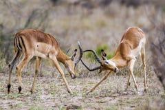 Impala en el parque nacional de Kruger, Suráfrica Fotos de archivo