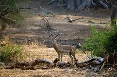 Impala en el puesto de observación Fotos de archivo libres de regalías