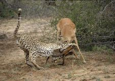 Impala en gepard royalty-vrije stock afbeelding