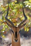 Impala en stationnement national d'Etosha Photographie stock
