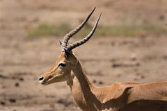 Impala en Tsavo fotografía de archivo