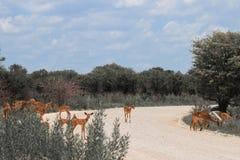 Impala enorme de la manada que pasta en los arbustos en el camino en el Etosh Foto de archivo libre de regalías