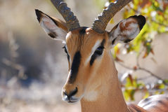 Impala in Etosha. National park, namibia Stock Photos