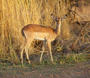 Impala Ewe Royalty Free Stock Images