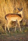 Impala Ewe. (Aepyceros melampus), Kruger National Park, South Africa royalty free stock image