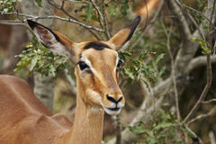 Impala ewe on alert in bushveld Royalty Free Stock Images