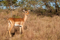 Impala ewe Royalty Free Stock Images