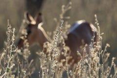 Impala Ewe. An impala ewe hiding behind grass in Marakele Game Reserve, South Africa stock image