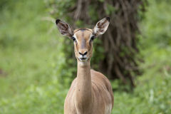 Impala ewe Royalty Free Stock Photos
