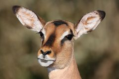 Impala Ewe Portrait Royalty Free Stock Photography